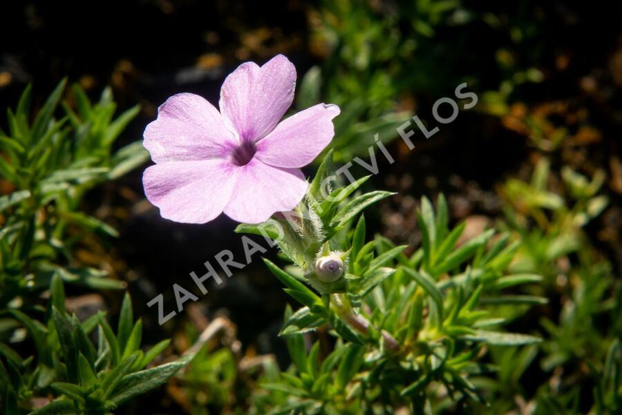 Plamenka 'Lachsjuwel' - Phlox douglasii 'Lachsjuwel'