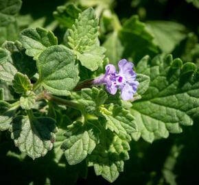 Šanta 'Walker's Low' - Nepeta racemosa 'Walker's Low'