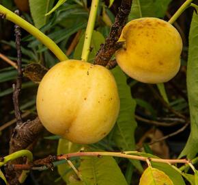 Broskvoň obecná 'Fruit Me®Icepeach' - Prunus persica 'Fruit Me®Icepeach'