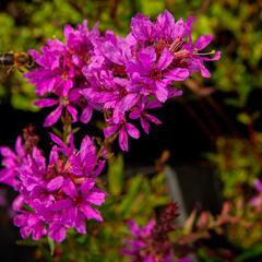 Kyprej prutnatý 'Dropmore Purple' - Lythrum virgatum 'Dropmore Purple'