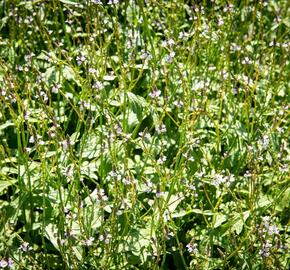 Verbena, sporýš lékařský - Verbena officinalis