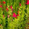 Šalvěj broskvová 'Peach' - Salvia greggii 'Peach'