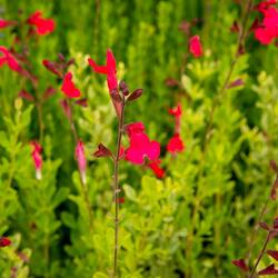Šalvěj broskvová - Salvia greggii 'Peach'