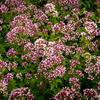 Dobromysl obecná 'Aromata' - Origanum vulgare 'Aromata'