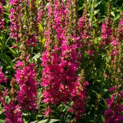 Kyprej vrbice 'Little Robert' - Lythrum salicaria 'Little Robert'