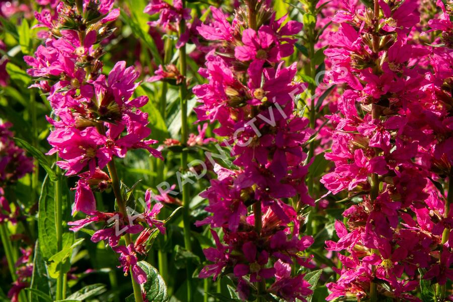Kyprej vrbice 'Little Robert' - Lythrum salicaria 'Little Robert'