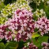 Dobromysl obecná 'Zorba White' - Origanum vulgare 'Zorba White'