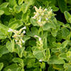 Šanta 'Alba' - Nepeta racemosa 'Alba'