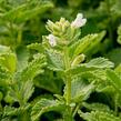 Šanta hroznovitá 'Alba' - Nepeta racemosa 'Alba'