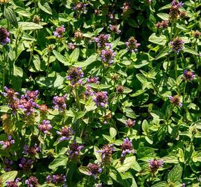 Černohlávek obecný - Prunella vulgaris