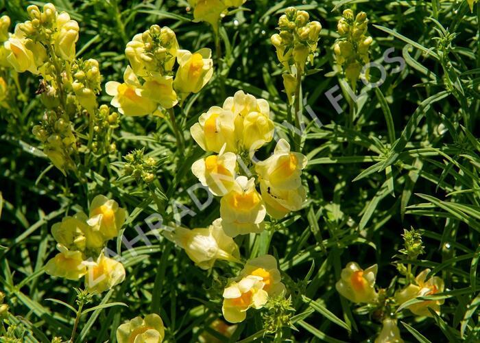 Lnice obecná - Linaria vulgaris