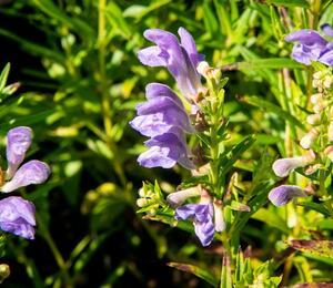 Šišák bajkalský - Scutellaria baicalensis