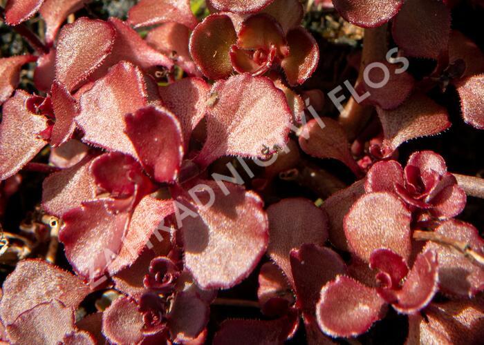 Rozchodník pochybný 'Mahogany Red' - Sedum spurium 'Mahogany Red'