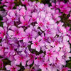 Plamenka latnatá 'Early Purple Pink Eye' - Phlox paniculata 'Early Purple Pink Eye'