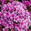 Plamenka latnatá 'Early Purple Pink Eye' - Phlox paniculata 'Early Purple Pink Eye'