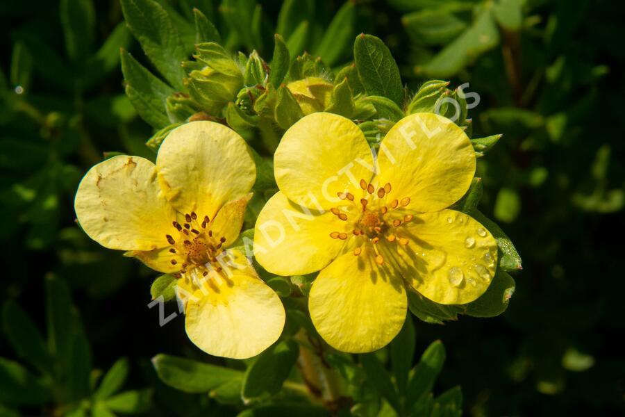 Mochna křovitá 'Maanelys' - Potentilla fruticosa 'Maanelys'