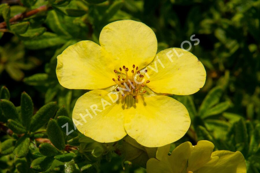 Mochna křovitá 'Marian Red Robin' - Potentilla fruticosa 'Marian Red Robin'