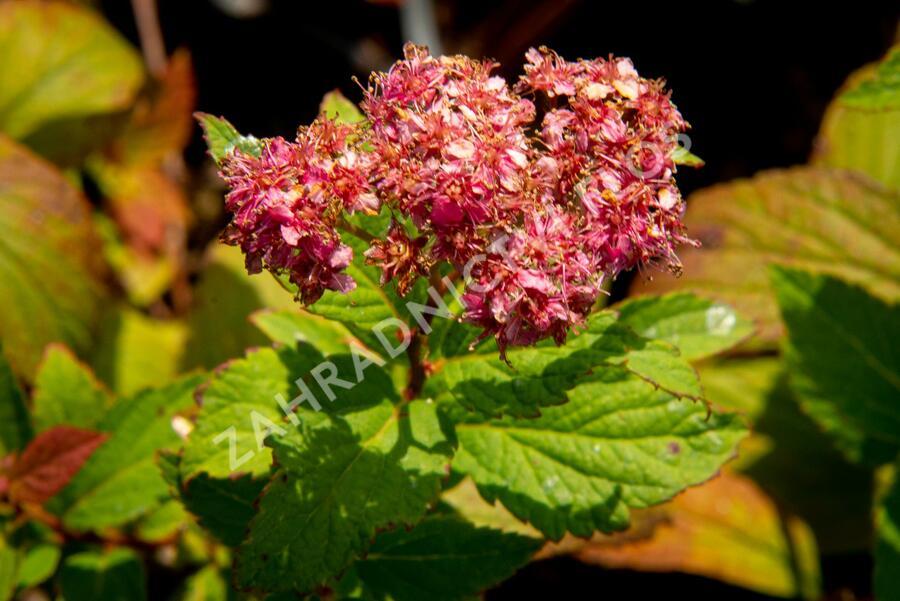 Tavolník japonský 'Froebelii' - Spiraea japonica 'Froebelii'