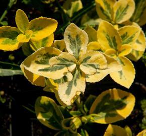Brslen Fortuneův 'Sunshine' - Euonymus fortunei 'Sunshine'