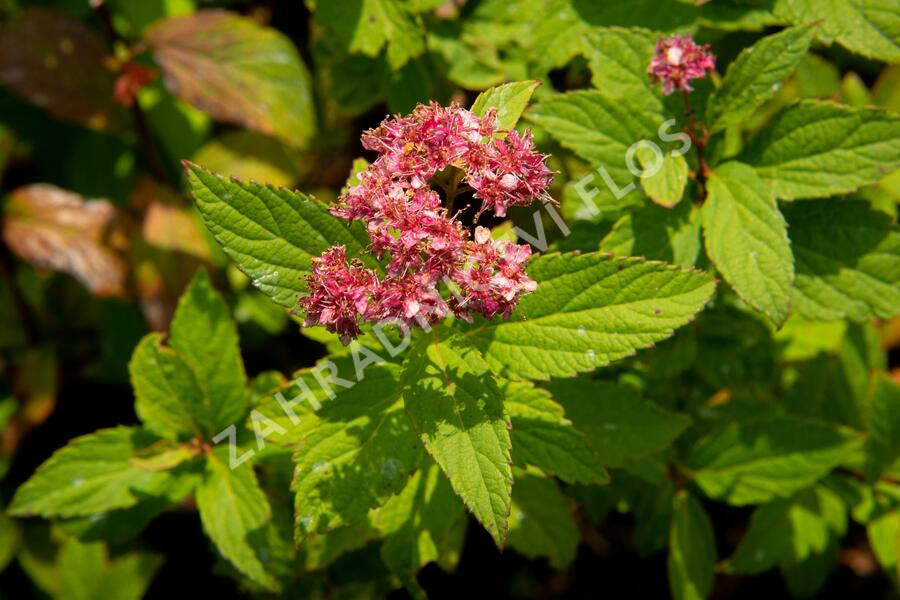 Tavolník japonský 'Zigeunerblut' - Spiraea japonica 'Zigeunerblut'
