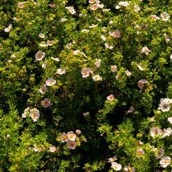 Mochna křovitá New Dawn' - Potentilla fruticosa 'New Dawn'