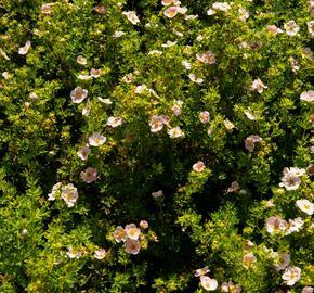 Mochna křovitá 'New Dawn' - Potentilla fruticosa 'New Dawn'