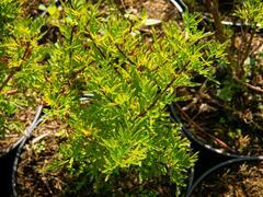 Šeřík stříhanolistý - Syringa laciniata