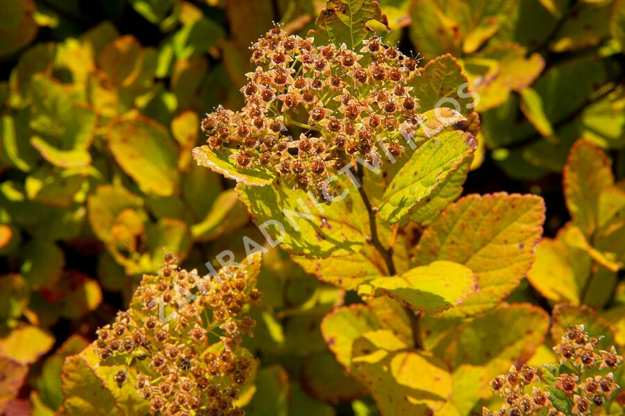Tavolník břízolistý 'Pink Sparkler' - Spiraea betulifolia 'Pink Sparkler'
