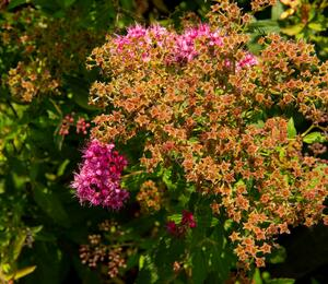 Tavolník japonský 'Country Red' - Spiraea japonica 'Country Red'
