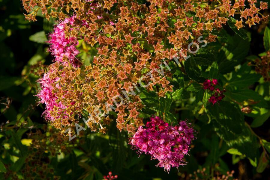 Tavolník japonský 'Country Red' - Spiraea japonica 'Country Red'