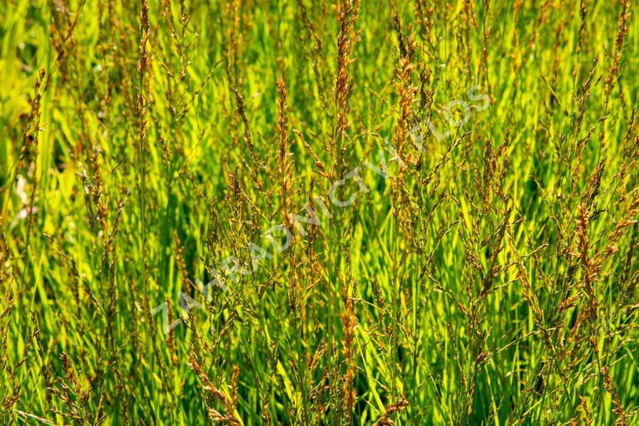 Bezkolenec modrý 'Heidezwerg' - Molinia caerulea 'Heidezwerg'