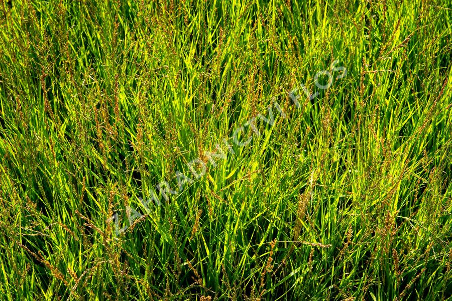 Molinia caerulea 'Heidezwerg' - Molinia caerulea 'Heidezwerg'