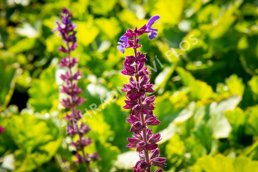 Šalvěj hajní - Salvia nemorosa