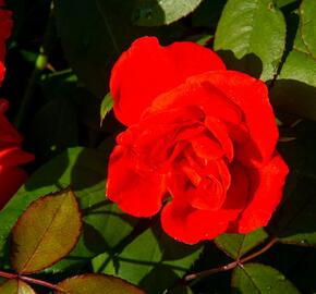 Růže parková 'Bischofsstadt Paderborn' - Rosa S 'Bischofsstadt Paderborn'
