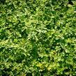 Šanta hroznovitá - Nepeta racemosa