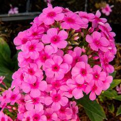 Plaménka latnatá 'Early Pink' - Phlox paniculata 'Early Pink'