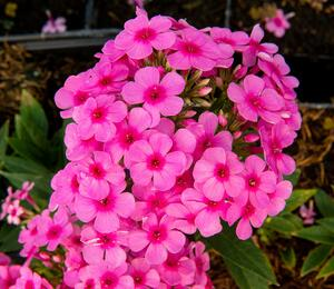 Plaménka latnatá 'Early Pink' - Phlox paniculata 'Early Pink'