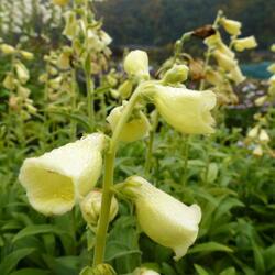 Náprstník velkokvětý - Digitalis ambigua (grandiflora)
