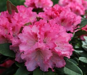 Pěnišník 'Excelsior' - Rhododendron (Y) 'Excelsior'