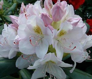 Pěnišník 'Catawbiense Album' - Rhododendron (T) 'Catawbiense Album'