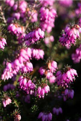 Vřesovec darlejský 'Rubina' - Erica darleyensis 'Rubina'