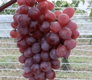 Réva vinná 'NO-8' - Vitis vinifera 'NO-8'