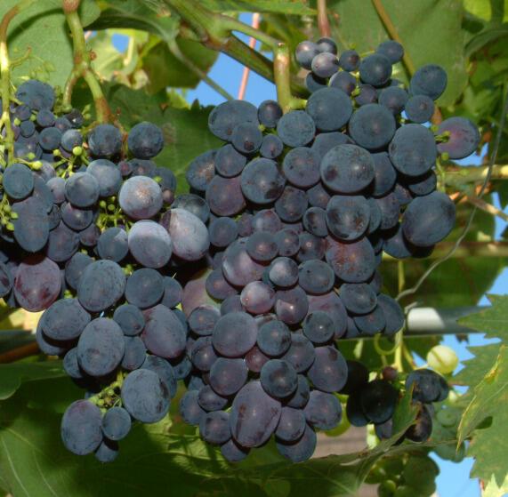 Réva vinná 'Paměť Negrul' - Vitis vinifera 'Paměť Negrul'