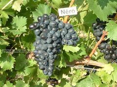 Réva vinná 'Nero' - Vitis vinifera 'Nero'