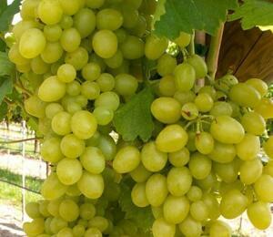Réva vinná 'Nasťa Arkádie' - Vitis vinifera 'Nasťa Arkádie'