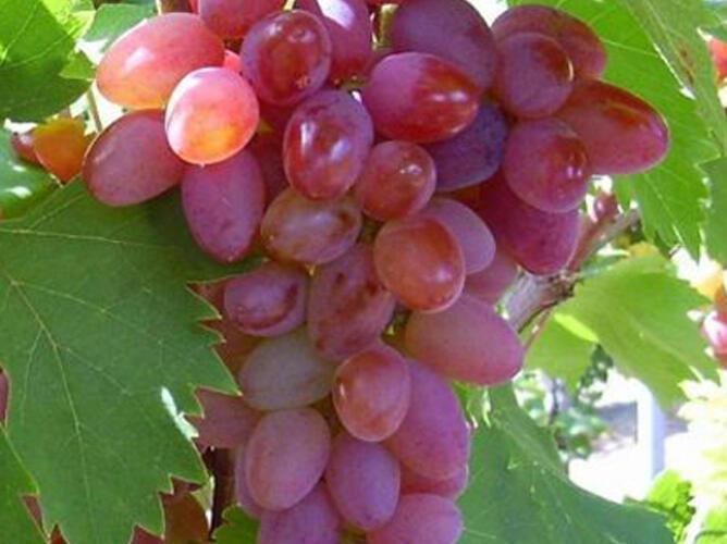 Réva vinná 'Jupiter' - Vitis vinifera 'Jupiter'