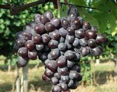 Réva vinná 'Elma' - Vitis vinifera 'Elma'
