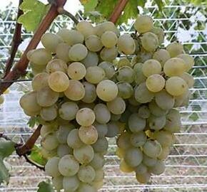 Réva vinná 'NO-10' - Vitis vinifera 'NO-10'