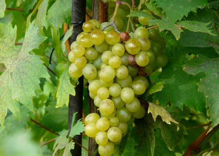 Réva vinná 'Opál' - Vitis vinifera 'Opál'
