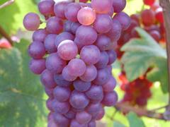 Réva vinná 'Chrupka červená' - Vitis vinifera 'Chrupka červená'